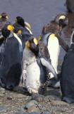 King Penguin s0156.jpg