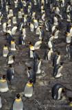King Penguin s0158.jpg