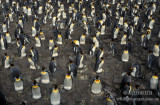 King Penguin s0159.jpg