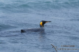 King Penguin s0161.jpg