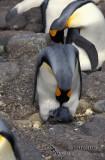 King Penguin s0162.jpg