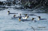 King Penguin s0163.jpg