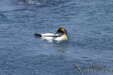 King Penguin s0166.jpg