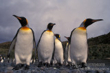 King Penguin s0167.jpg