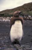 King Penguin s0170.jpg