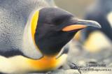 King Penguin s0175.jpg