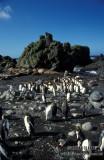 King Penguin s0176.jpg