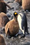 King Penguin s0177.jpg