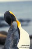 King Penguin s0180.jpg