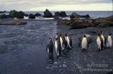 King Penguin s0186.jpg