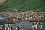 King Penguin s0189.jpg