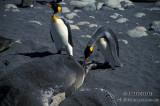 King Penguin s0191.jpg