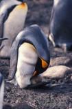 King Penguin s0193.jpg