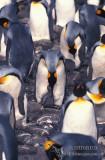 King Penguin s0194.jpg
