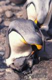King Penguin s0197.jpg