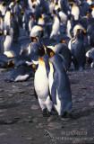 King Penguin s0199.jpg