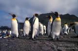 King Penguin s0201.jpg