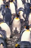 King Penguin s0204.jpg