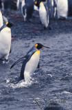 King Penguin s0205.jpg
