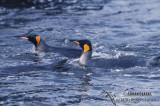 King Penguin s0206.jpg