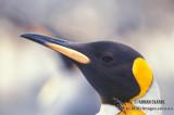 King Penguin s0207.jpg