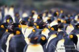 King Penguin s0208.jpg