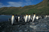 King Penguin s0209.jpg