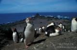 Royal Penguin s0348.jpg