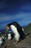 Royal Penguin s0349.jpg