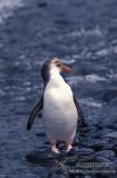 Royal Penguin s0351.jpg