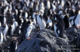 Royal Penguin s0352.jpg