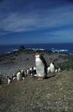Royal Penguin s0353.jpg