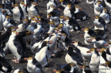 Royal Penguin s0355.jpg