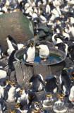 Royal Penguin s0356.jpg