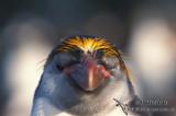 Royal Penguin s0362.jpg