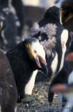 Royal Penguin s0363.jpg