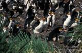 Royal Penguin s0366.jpg