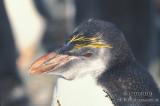 Royal Penguin s0367.jpg