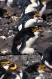 Royal Penguin s0369.jpg