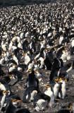 Royal Penguin s0370.jpg