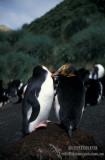 Royal Penguin s0372.jpg