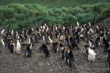 Royal Penguin s0373.jpg
