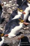 Royal Penguin s0375.jpg