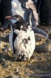 Royal Penguin s0377.jpg