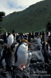 Royal Penguin s0378.jpg