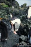 Royal Penguin s0379.jpg