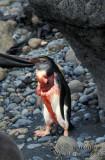 Royal Penguin s0380.jpg