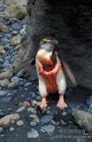 Royal Penguin s0382.jpg
