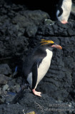 Macaroni Penguin s0383.jpg