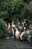 Royal Penguin s0386.jpg